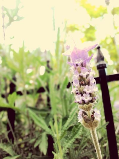 Purple Flower Nature Lavender Plant Outdoors Beauty In Nature Flower Head