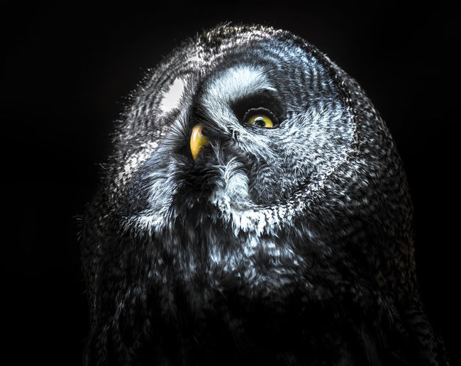 Moonlight owl Animal Animal Body Part Animal Eye Animal Head  Animal Themes Animal Wildlife Animals In The Wild Beak Bird Bird Of Prey Black Background Close-up Eagle Eye Indoors  Looking At Camera No People One Animal Owl Portrait Studio Shot Vertebrate Yellow Eyes