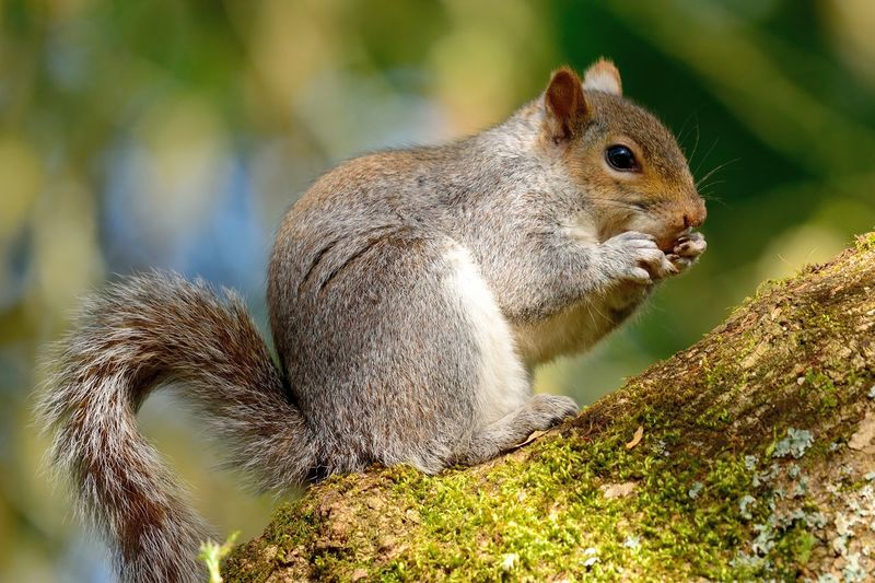 Animal Themes Animal Wildlife Animals In The Wild Beauty In Nature Check This Out Close-up Cute Day Eating Eye4photography  EyeEm Best Shots EyeEm Gallery EyeEm Nature Lover Grey Squirrel Nature Nature Photography Nature_collection Naturelovers No People Nut One Animal Outdoors Paws Squirrel Taking Photos