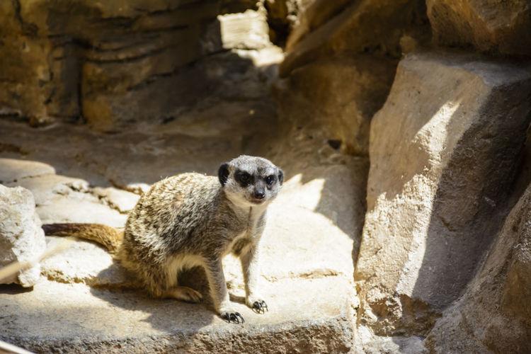 Portrait of meerkat on stone
