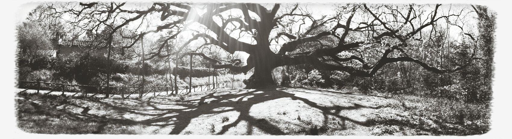 oldest tree around Oak Trees Nature Tree