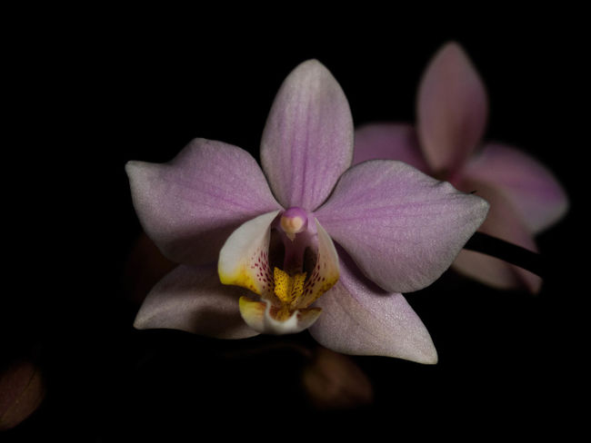 Flower Flowering Plant Fragility Freshness Petal Beauty In Nature Vulnerability  Plant Inflorescence Flower Head Studio Shot Black Background Close-up Nature Growth No People Pollen Orchid Pink Color