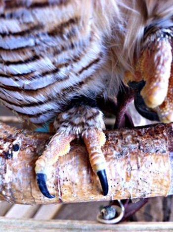 Talon Talons Owls Birds Of EyeEm  Hello World EyeEm Nature Lover OpenEdit One Animal Close-up No People Animal Leg Animal Body Part Animal Wildlife Vertebrate Animal Skin Nail Claw