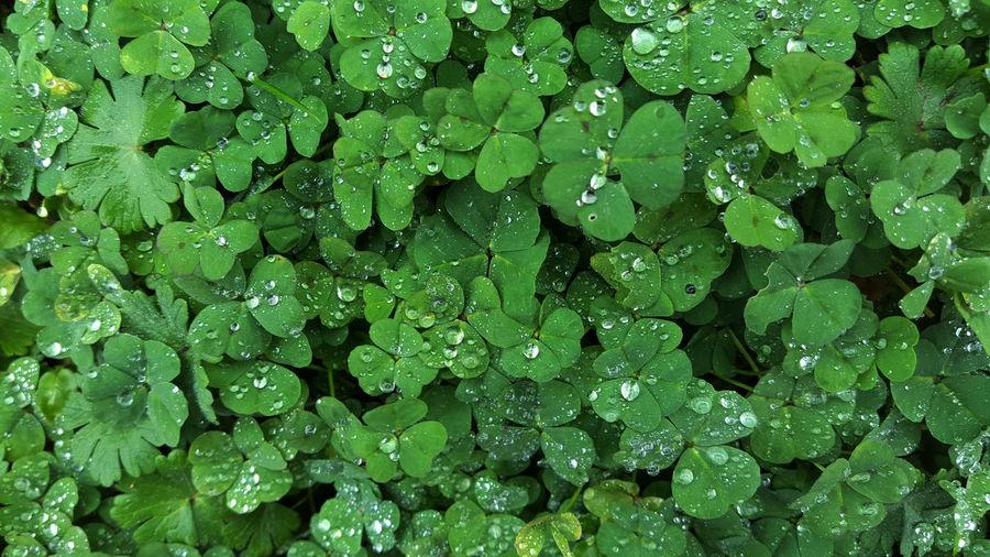 Full frame shot of water drops on clover leaves