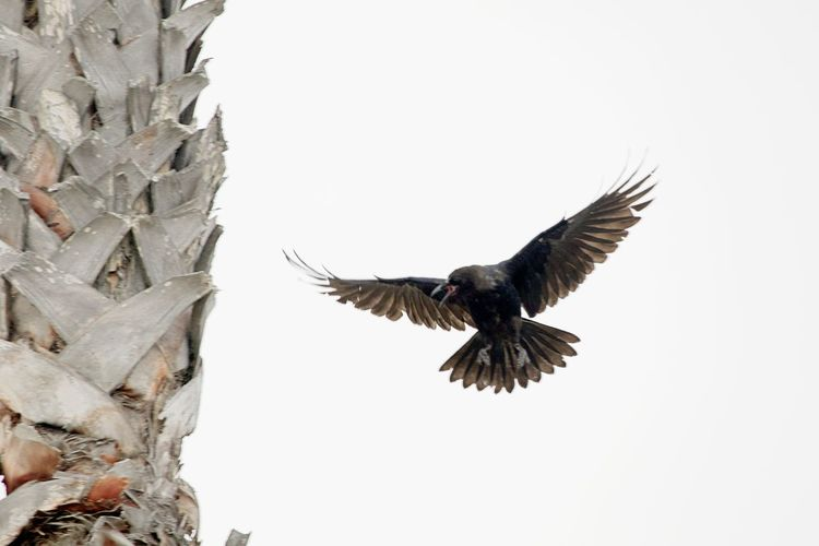 Animal Animal Themes Animal Wildlife Animals In The Wild Bird Crow Flying Flying Crow Low Angle View Mid-air Nature No People One Animal Outdoors Spread Wings