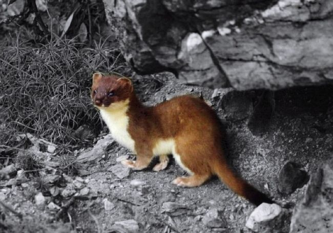 Stoat Animal Themes Full Length No People Animal Wildlife Outdoors Nature
