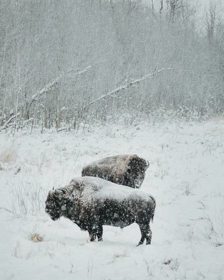 Bison Animal Themes Animal Wildlife Animals In The Wild Beauty In Nature Cold Temperature Day Domestic Animals Field Mammal Nature No People One Animal Outdoors Snow Snowing Weather Winter