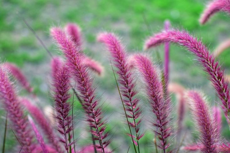 Close-up of Purple Fountain Grass blooming in the background. Grass Morning Natural Nature Pink Plant Background Beauty Blossom Close-up Day Flora Flower Fountain Grass Fresh Garden Outdoor Pattern Purple Spring Summer Tropical