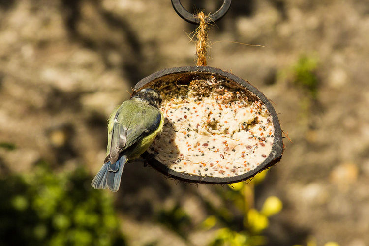 Close-up of bluetit perching on feeder