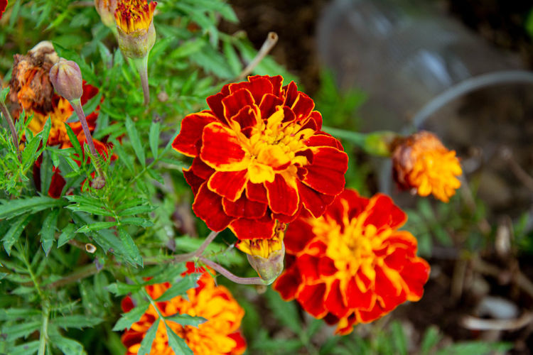 Close-up of red and orange flowers