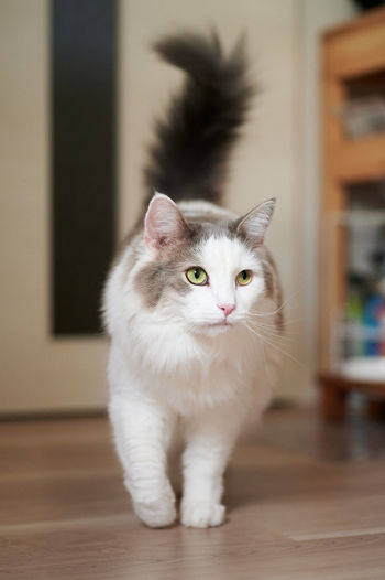 White cat walking on wooden flooring at home