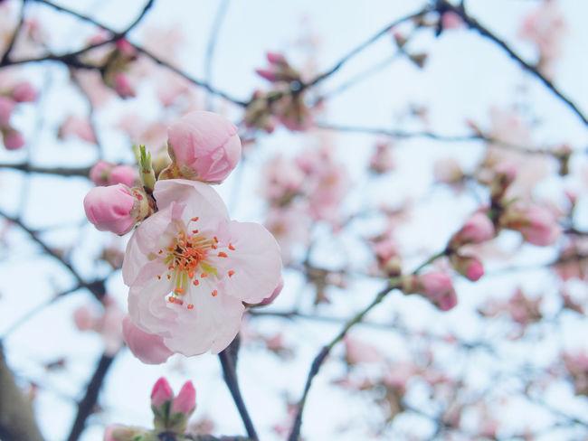 Beauty In Nature Blossom Cherry Blossom Cherry Tree Claudetheen Close-up Focus On Foreground Hanami Hanami Sakura  Nature Pink Color Sky Spring Springtime Tree
