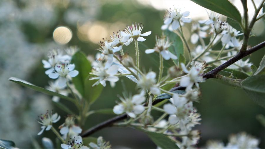Aronia blossoms Flower Plant Flowering Plant Growth Beauty In Nature Fragility Freshness Vulnerability  Close-up Selective Focus Petal Nature No People Day White Color Flower Head Inflorescence Outdoors Plant Part Leaf Springtime Purple Aronia Aronia Flower Bokeh Bokeh Photography White White Flowers