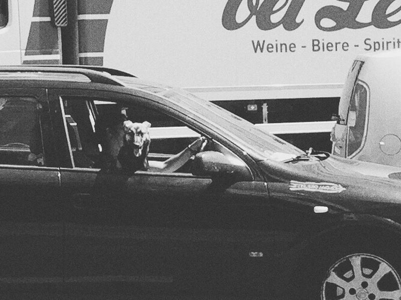 Like in L.A. but in Berlin Losangeles Berlin Dog Outofthewindow Parkwayberlin @parkwayberlin
