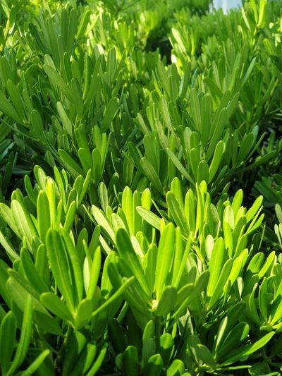 Full frame shot of fresh green leaves on field