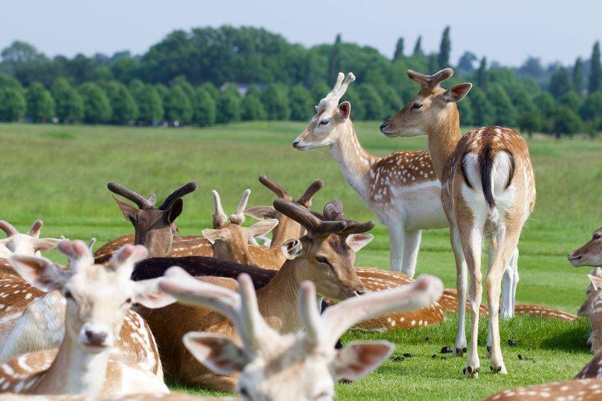 Bushy Park, the second largest of the capital's eight Royal Parks. Animal Animal Photography Animal Themes Animals Animals In The Wild Beauty In Nature Day Deer EyeEm Nature Lover Fauna Field Grass Grassy Herbivorous Landscape Mammal Nature Nature Nature On Your Doorstep Nature Photography Nature_collection Nature_perfection Naturelovers Young Animal