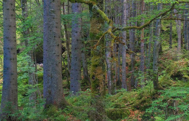 Wald Plant