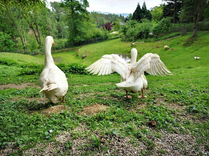 White birds on grassy field