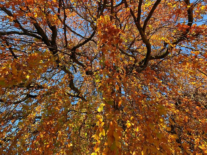 Vibrant Vibrant Color Full Frame Backgrounds Low Angle View No People Plant Tree Beauty In Nature Branch Day Nature Growth Autumn Outdoors Tranquility Pattern Sky Yellow Change Orange Color Close-up
