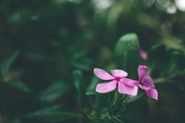 Plant Flowering Plant Flower Beauty In Nature Petal Freshness Pink Color Growth Flower Head Vulnerability  Fragility Green Color Inflorescence Plant Part Nature Close-up Focus On Foreground No People Day Leaf Outdoors