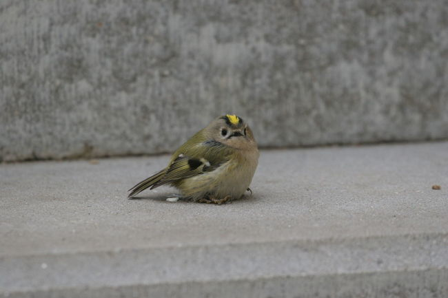 Animal Themes Animal Wildlife Animals In The Wild Bird Close-up Day Goldcrest Left Alone Little Bird Lonesome Nature No People One Animal Outdoors Perching So Little