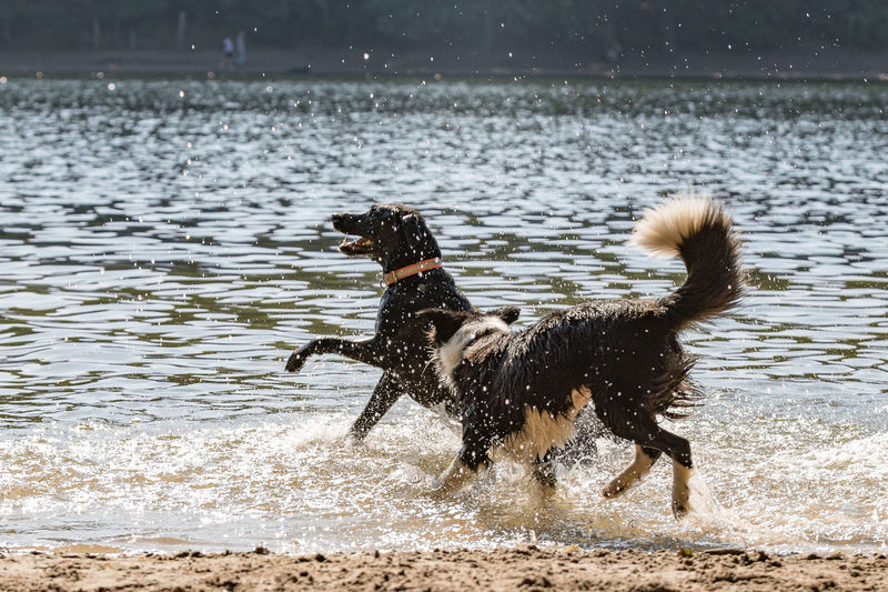 Animal Animal Themes Beach For Dogs Beachlife Canine Day Dog Domestic Domestic Animals Lake Mammal Motion Nature No People One Animal Outdoors Pets Running Splashing Vertebrate Water Wet
