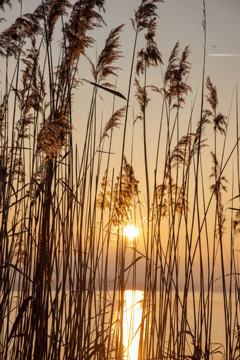 Reed - Grass Family Sunset Beauty In Nature Lakeside No People Nature Close-up Sunlight Plant Atmospheric Mood Sun Water Sky Idyllic Colors Light - Natural Phenomenon Light Painting Details Of Nature Selective Focus