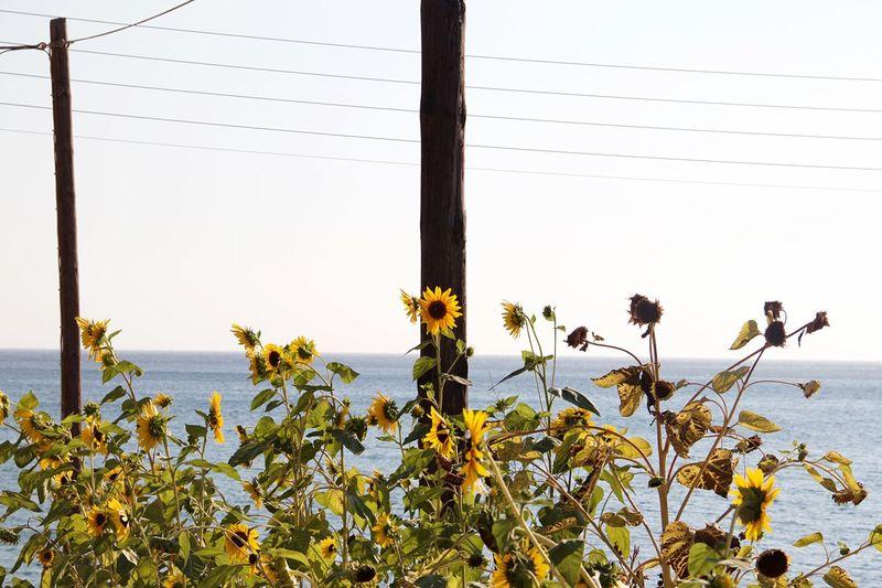 Sunflower EyeEm