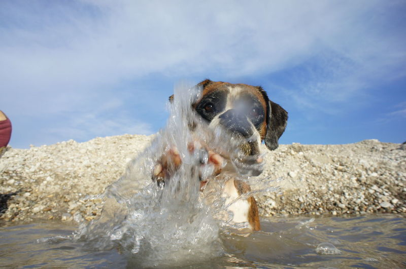 Boxer dog splashing water in river