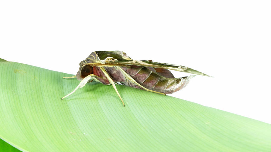 Close-up of insect on leaf over white background