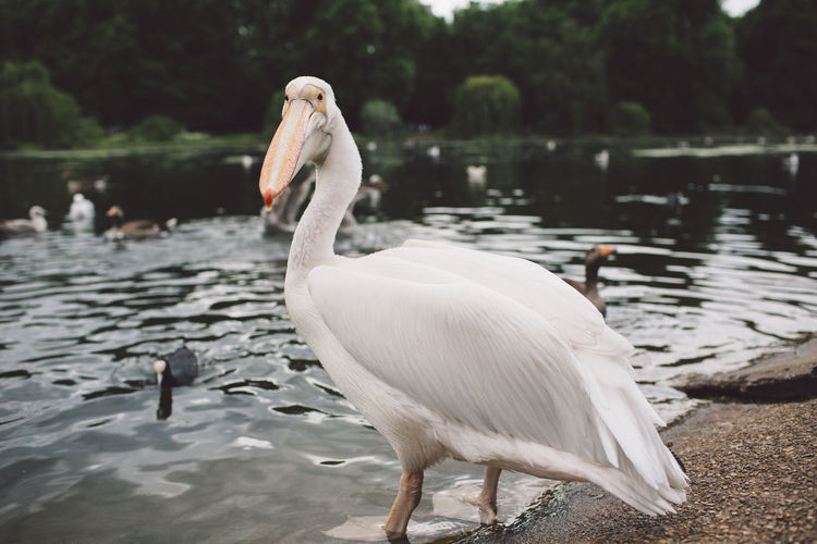 Animal Themes Animal Wildlife Animals In The Wild Beak Beauty In Nature Bird Crane - Bird Day Lake Nature No People One Animal Outdoors Pelican Portrait Swan Water Water Bird White Color EyeEm LOST IN London Pet Portraits
