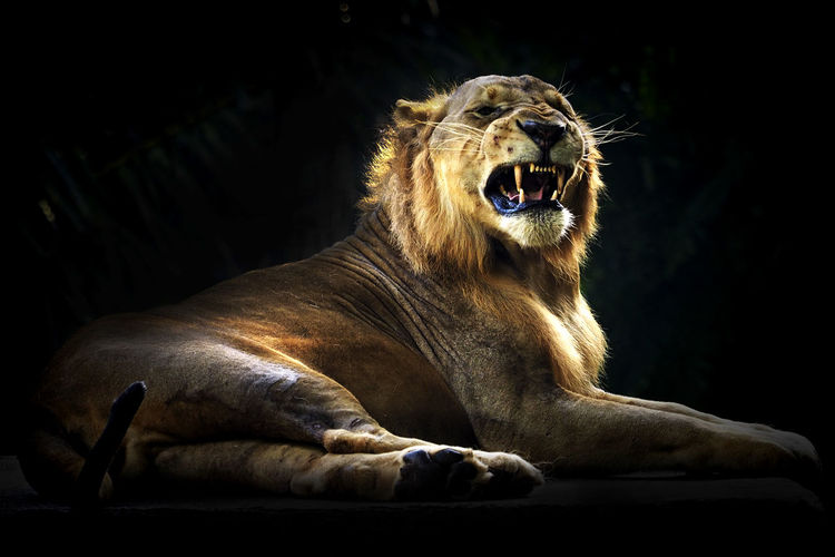 Lion roaring while sitting against black background