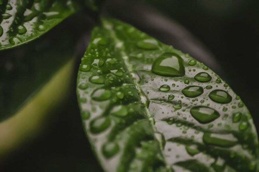 Macro Photography Leaf Close-up Water Leaf Vein No People Green Color Beauty In Nature Freshness Outdoors Drop Wet Nature Day Purity