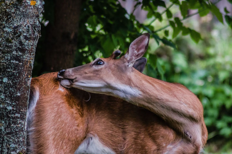 Deer The Great Outdoors - 2018 EyeEm Awards The Week on EyeEm Wildlife Photography Alertness Animal Animal Themes Animal Wildlife Backyard Beauty Backyard Friend Beauty Beauty In Nature Buck Close Up Day Herbivorous Mammal Nature No People Vertebrate White Tailed Deer Wild Animals Wildlife Yearling Young Buck