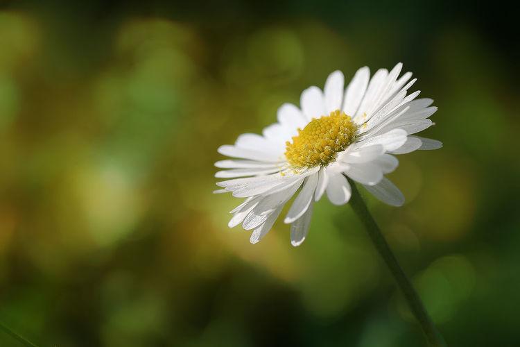 Daisy Nature