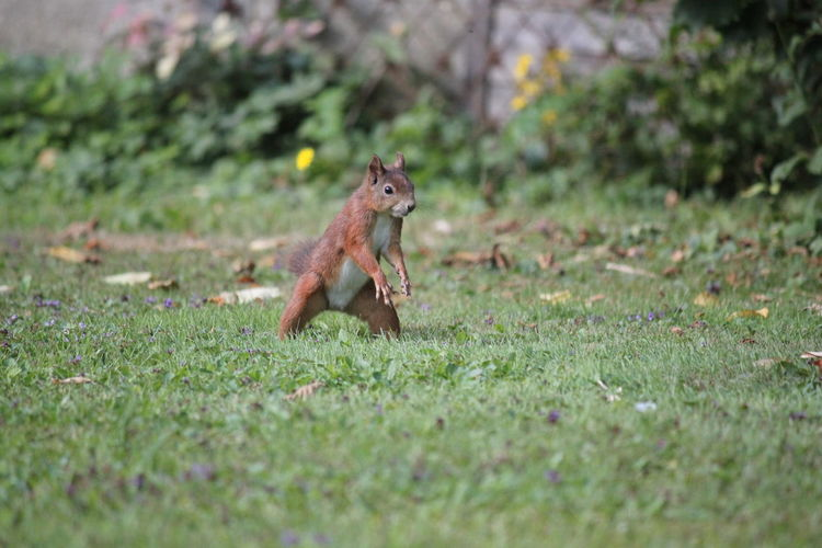 Red squirrel on grassy field