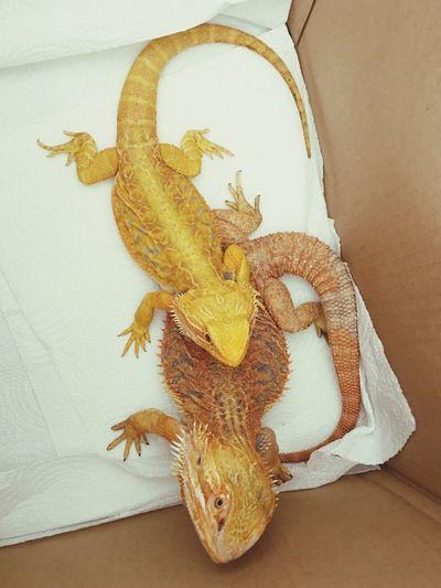 Bearded Dragons 🐉 Yellow Lizard Bearded Dragon Pet EyeEm Selects Indoors  Animal Themes Animal No People Art And Craft Close-up Lizard