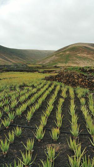 Aloe Vera Islascanarias