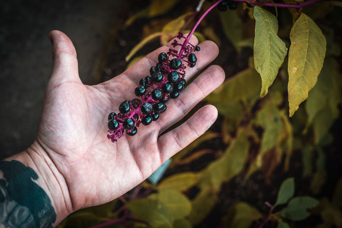 A handful of wild blueberries berries in hand. Human Hand Hand Healthy Eating Fruit Food And Drink Food One Person Human Body Part Berry Fruit Real People Holding Freshness Wellbeing Focus On Foreground Plant Part Day Leaf Close-up Leisure Activity Finger Ripe Outdoors Purple