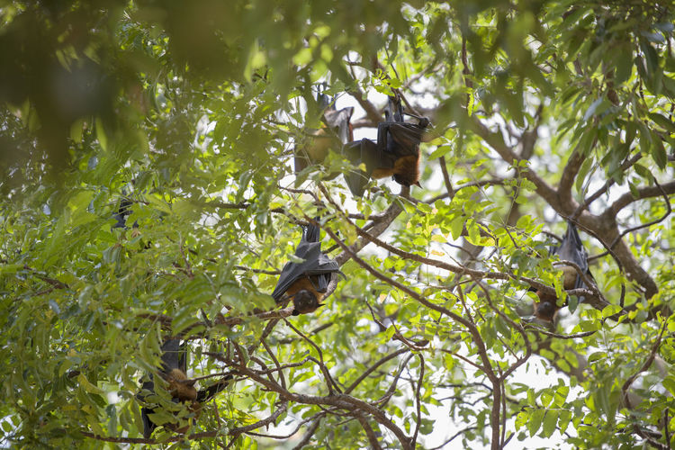 Foxbats in Thailand ASIA Bat Hanging Thailand Tree Animal Fox Fox Bat Foxbat Fruit Group Many