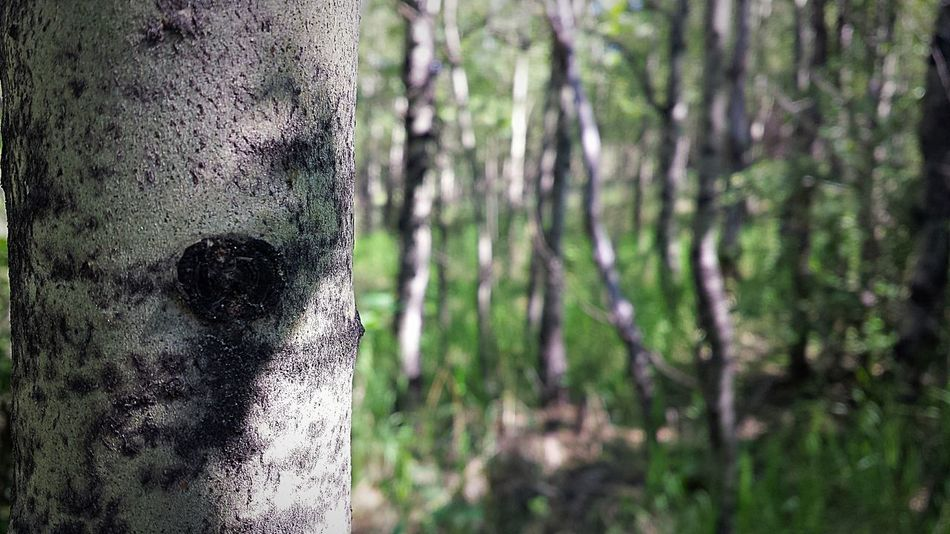 Untitled Photography Phoneography PhonePhotography Phonecamera Avairy YYC Untitled Photography Focus On Foreground Trees Forest NoseHillPark