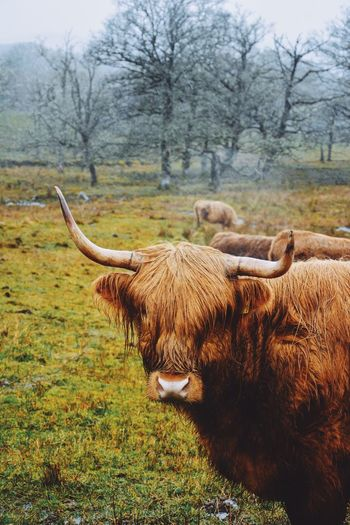 Livestock Domestic Animals Grass Animal Themes Mammal Highland Cattle Tree Nature Field Horned No People Cattle Grazing Growth Beauty In Nature Day Outdoors Scotland Highlands Landscape Caw Hairy Caw