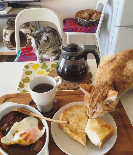 """家ごはん 朝ごはん カレー 3日目のカレー ハウス ジャワカレー ジャワカレースパイシーブレンド アメショ Americanshorthair ズズ ズズ子 Zuzu ズズっぺ シルバータビー Cat Neko ねこ 猫 ねこ Cats スコティッシュフォールド Scottishfold 茶トラ ロロ Lolo コケティッシュフォールド コケティッシュホールド piopio pio ピオ 実は一昨日の晩から3日連続カレーである…😆😸💦さすがに具がほぼ無かったのでウインナー&イケアのミートボール+目玉焼きトッピングなんだな…🍴 ルーはワゴンセールだった""""ジャワカレー スパイシーブレンド""""初めて食べたけど…結構後味が辛いですよ…💦通常★五つ表示のところ★六つですから…一般の家庭向けカレーにしては辛い。初日はさすがに煮込みが足りないのかコクが無くただ辛い印象で…2日目は1日寝かせた分コクも出て一体感も増しジャムやら醤油やら足して口当たりマイルドに好みの味へ変身…でも後味辛い😅んで今朝は自分が慣れたみたいでちょうど良し👍👍👍まだルーのみ若干残ってるから…最後はスープかな?"""
