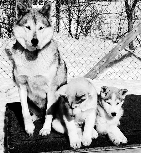 Mommy and her pups! Many Of A Kind Île D'Orléans Quebec Canada Puppy Outdoors Husky Quebectourism Kennel Sled Dog Sleddogs Springtime Spring Close-up No People Kennel Dog Many Redhair EyeEm Selects Puppy Puppies Husky Sled Dog Portrait Childhood Looking At Camera Togetherness