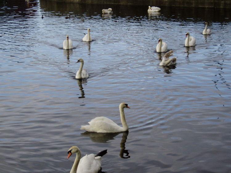 Animal Family Animal Themes Schwan  Schwanenteich Schwäne Swan Water Water Bird Wildlife