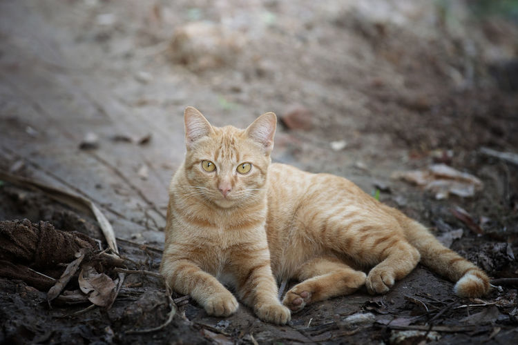 Close up head orange cat Cat Mammal Feline Domestic Cat Pets Domestic Domestic Animals One Animal Vertebrate Relaxation No People Looking At Camera Portrait Day Sitting Nature Focus On Foreground Whisker Ginger Cat Tabby