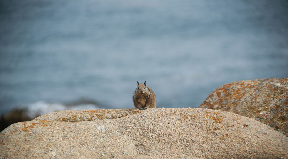 Squirrel on rock against sea