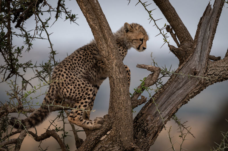 Young Cheetah On Tree Trunk