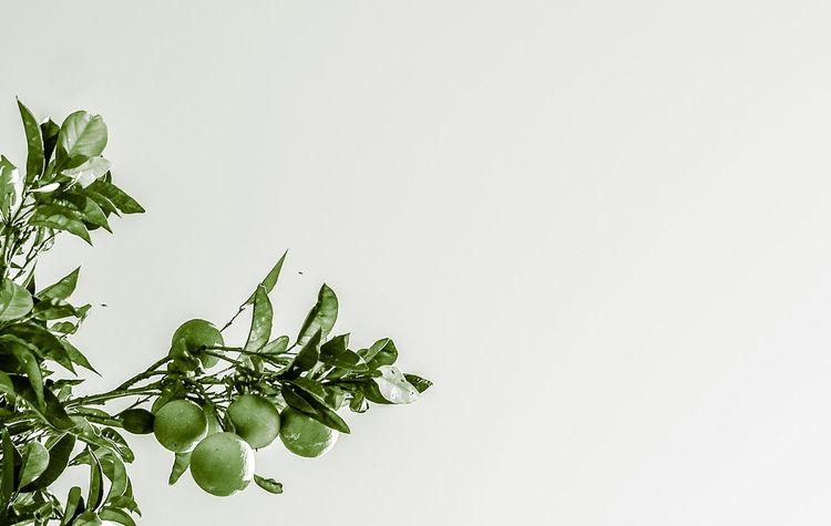 Abstract Lemon Lemontree Minimal Minimalism Minimalobsession