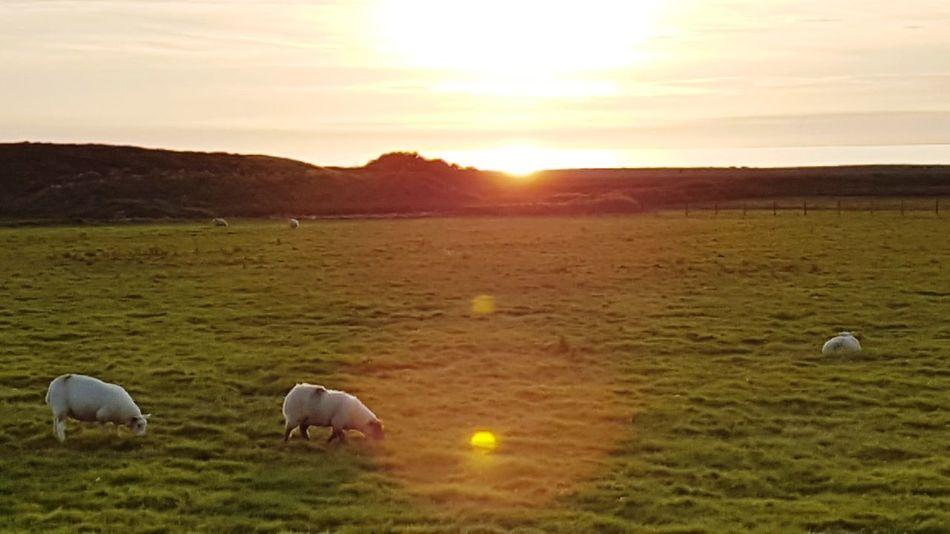 Flamingo Bird Sunset Grazing Sheep Rural Scene Sun Sky Grass Landscape